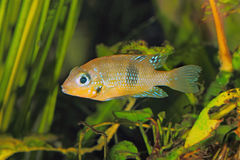 Socoloffs-Goldcichlid Thorichthys-socoloffi lizenzfreies stockfoto