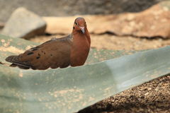 Socorro dove Royalty Free Stock Photo