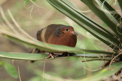 Socorro dove Royalty Free Stock Photography