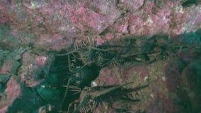 Socorro taggig hummer i den Sanbenedicto ön från den Revillagigedo skärgården stock video