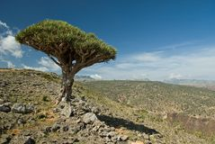 Socotra 343. A lonely dragon blood tree on a hill slope in Socotra Stock Photos