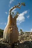 Socotra 350. A bottle tree on a rock in Socotra Royalty Free Stock Photography