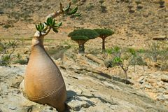 Socotra 403 Royalty Free Stock Images