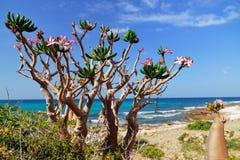 Socotra, bottle tree stock images