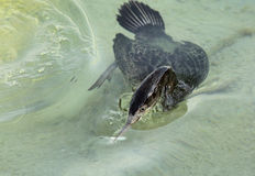 Socotra cormorant emerging out with a fish after a dive Royalty Free Stock Images