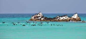 Socotra cormorants on the sea rock Royalty Free Stock Images