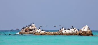 Socotra cormorants on the sea rock Royalty Free Stock Photos