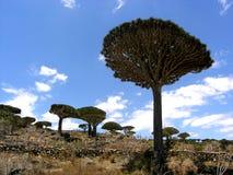 Socotra de los árboles de Dragonblood fotos de archivo