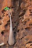 Socotra, der Jemen, ein Flaschenbaum im Dragon Blood Trees-Wald in Homhil-Hochebene Lizenzfreies Stockfoto