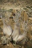 The Socotra Desert Rose or Bottle Tree (Adenium obesum socotranum) Royalty Free Stock Image