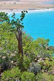Socotra endemic plant on the background of blue water. Indian ocean shore with flowering bottle tree and another endemic plants of Socotra Island. Yemen royalty free stock image