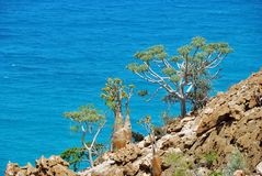 Socotra endemic plant on the background of blue water. Indian ocean shore with flowering bottle tree and another endemic plants of Socotra Island. Yemen royalty free stock images