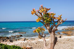 Socotra endemics Stock Photography
