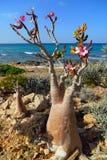 Socotra endemics Royalty Free Stock Image
