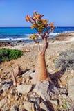 Socotra endemics Stock Image