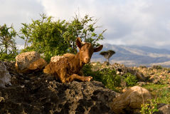 Socotra Goat. A goat having rest in the shadow, Socotra, Yemen Royalty Free Stock Photography