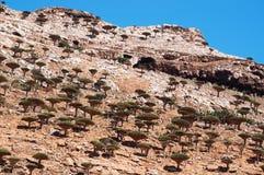 Socotra, Iémen, vista geral da floresta de Dragon Blood Trees no platô de Homhil fotos de stock royalty free