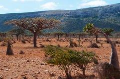 Socotra, Iémen, vista geral da floresta de Dragon Blood Trees no platô de Homhil fotos de stock