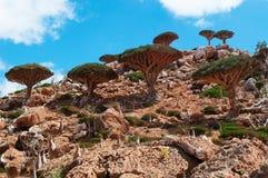 Socotra, Iémen, vista geral da floresta de Dragon Blood Trees no platô de Homhil fotografia de stock