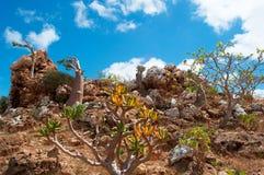 Socotra, Iémen, vista geral na floresta das árvores de Dragon Blood, platô das árvores da garrafa de Homhil imagem de stock royalty free