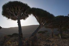 Socotra, isola, Oceano Indiano, Yemen, Medio Oriente Fotografie Stock Libere da Diritti