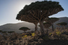 Socotra, isola, Oceano Indiano, Yemen, Medio Oriente Immagine Stock