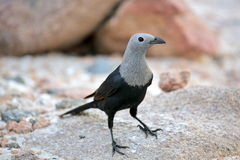 Socotra starling (Onychognathus frater) Stock Photography