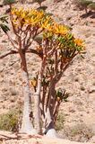 Socotra, Yemen, Bottle trees with the Dragon Blood Trees forest in Homhil Plateau on the background Stock Photo