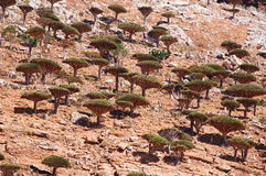Socotra, Yemen, overview of the Dragon Blood Trees forest in Homhil Plateau Stock Image