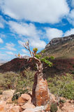 Socotra, Yemen, overview of the Dragon Blood Trees forest in Homhil Plateau Royalty Free Stock Photos