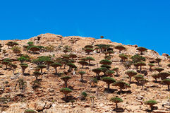 Socotra, Yemen, overview of the Dragon Blood Trees forest in Homhil Plateau Stock Images