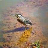 Socozinho - de Braziliaanse inheemse vogel van Asmall Stock Fotografie