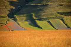 Soczewicy kwiecenie w Castelluccio Di Norcia Tysiące kolory Zdjęcie Royalty Free