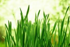 Soczyści liście daffodils na zamazanym tle Naturalny t?o Rost nadzieja Miękka ostrość, wybrana ostrość obraz stock