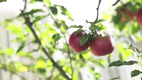 Soczyści piękni zadziwiający ładni czerwoni jabłka na gałąź, jesień zmierzch z lekkim popiółem zbiory