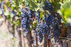 Soczyści Sangiovese winogrona na winogradzie obraz royalty free