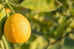 Soczysta pomarańcze dojrzewa w świetle słonecznym zdjęcie stock