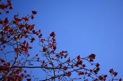 Soczyste czerwone jagody Zdjęcie Royalty Free