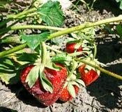 Soczyste czerwone truskawkowe jagody na krzaku Obrazy Royalty Free