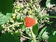 Soczyste czerwone truskawkowe jagody na krzaku Obrazy Stock