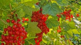 Soczyste jałowcowe jagody w słońcu Obraz Stock