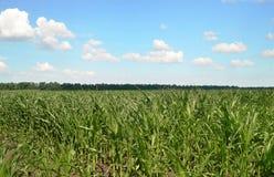 Soczyste młode kukurydzane rośliny Obraz Stock