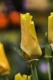 Soczystej fotografii młoda wiosna kwitnie róże Zdjęcie Stock