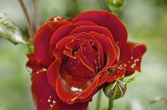 Soczystej fotografii młoda wiosna kwitnie róże w rocznika stylu Fotografia Royalty Free