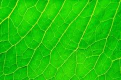 Soczysty zielony liść Fotografia Royalty Free