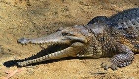 Słodkowodny krokodyl twarzy odpoczynek na brzeg rzeki z jest szczękami otwartymi Fotografia Royalty Free