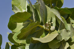 Sodom苹果树Calotropis procera 免版税库存图片
