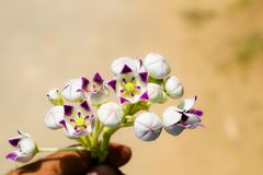 Sodom apple plant flowers stock image