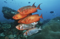 Sodwana Bay Indian Ocean South Africa school of cresent-tail bigeyes (Priacanthus hamrur) near coral reef Stock Photo