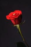 Soe em um fundo cor-de-rosa vermelho do preto do wrom Imagens de Stock Royalty Free